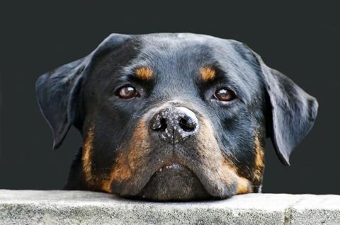犬の顔(パブリックドメイン)